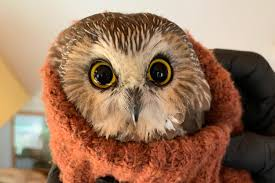 Small owl found in Rockefeller Christmas tree
