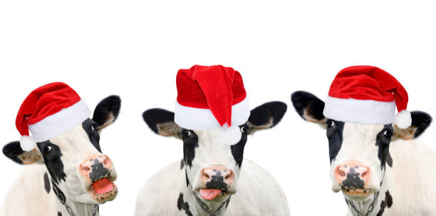 Three+funny+cows+in+Christmas+hats.+Cows+portrait+isolated+on+white.+Farm+animals.