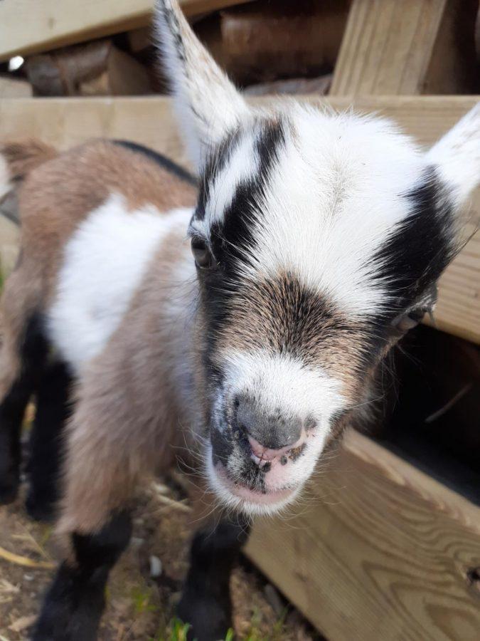 Meet Bandit, the bouncing baby goat